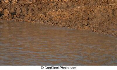 Yellow Labrador jumping - A yellow labrador retriever...