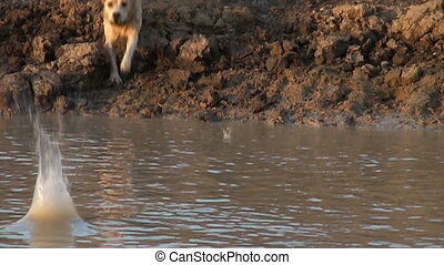 Yellow Labrador jumping - A yellow labrador retriever...