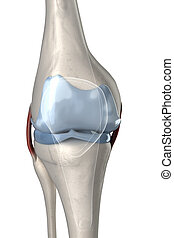 Human knee anterior view with visible cartilage
