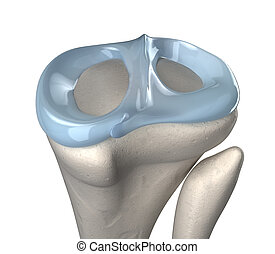 Knee meniscus anatomy