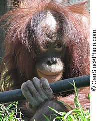 Orangutang - Face of an orangutang