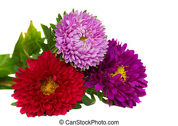 bouquet of aster flowers - bouquet of three aster flowers...