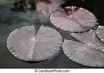 lotus leaf  - lotus leaf