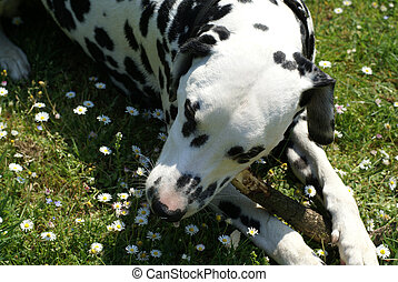 Dalmatian and some flowers. - Dalmatian dog laying in a...