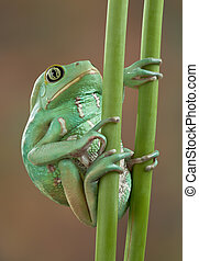 Waxy tree frog on stems - A waxy monkey tree frog is holding...