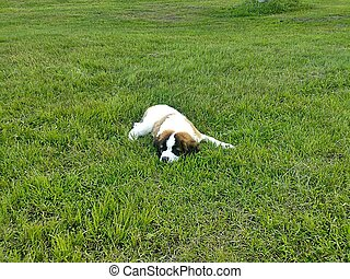 Tired bones - Puppy rest in the grass meadow