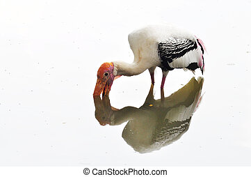 A Milky Stork - A milky stork looking for food in the water