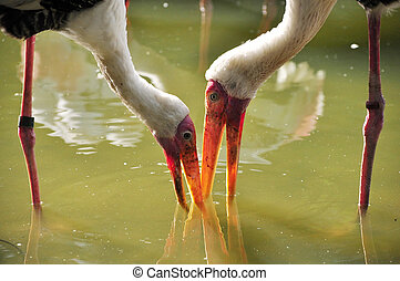 A Portrait of Two Milky Storks - A portrait of two milky...