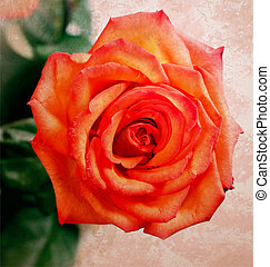 red rose grunge paper texture