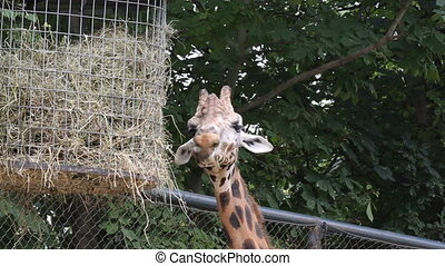 Giraffe eat in zoo of Austria