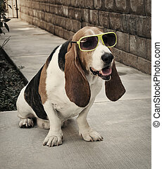 Basset Hound with Sun Glasses - Basset hound sitting wearing...