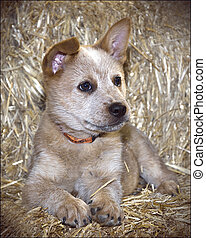 Red Queensland Heeler Puppy - Isolated Red Queensland Heeler...