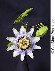 Granadilla Flower - photo of granadilla flower against black...