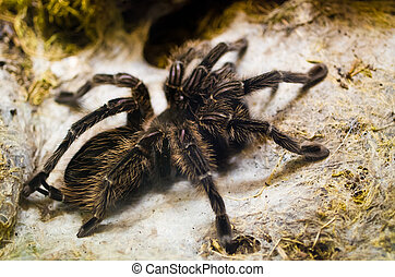 Tarantula spider on the web