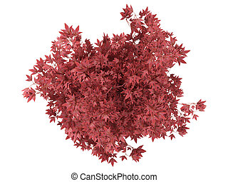 red bonsai tree in a pot - Red bonsai tree in a pot isolated...
