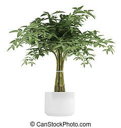 díszítő,  bambpoo, cserepes növény