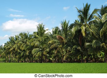Lush Green Ricefield and Palm Trees - A green rice field in...