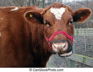 You Talking To Me - A photograph of a cow chewing the cud
