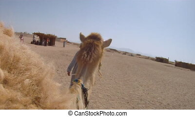 Camel ride - Tourists ride camels through the Sahara Desert...