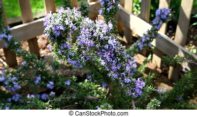 Blooming Rosemary (Rosmarinus officinalis)