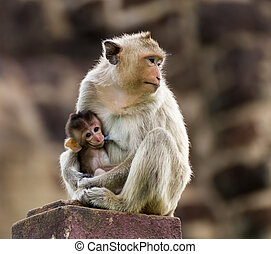 Baby monkey and mother - Baby monkey eating milk from the...