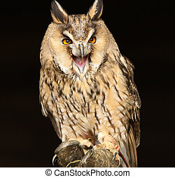 Long Eared Owl - Portrait og a Long Eared Owl screeching