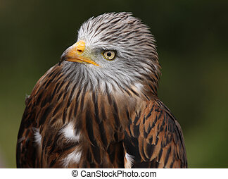 Red Kite - Portrait of a Red Kite