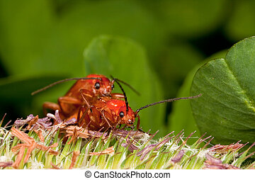 Two red bugs mating - Two big red bugs Pyrochroa...