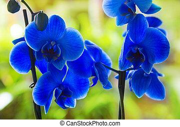 azul, phalaenopsis, orquídea, bastante, flores