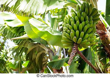 Canarian, plátano, plantación, Platano, La,...