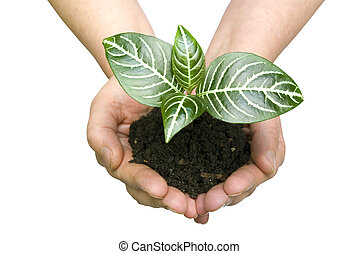 plant in hands - Hands holding sapling in soil on white