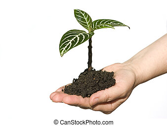 new life - Hand holding sapling in soil on white