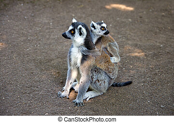 ring-tailed lemur - a Ring-tailed lemur with young on back.