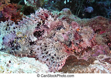 Scorpionfish, Red Sea, Egypt - A well-camouflaged...