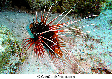 Lion fish, Red Sea, Egypt - A poisonous Lion fish at the Red...