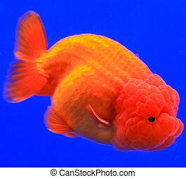 Oranda stock fotos und bilder 131 oranda bilder und for Goldfisch rassen