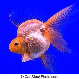 goldfish, vidrio, gabinete