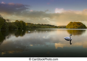 Swan Lake - Picture of a Swan on a Lake in the Scottish...