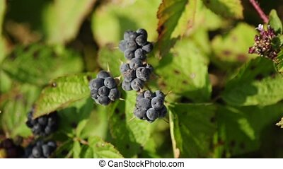 brumble berry, an inedible berry