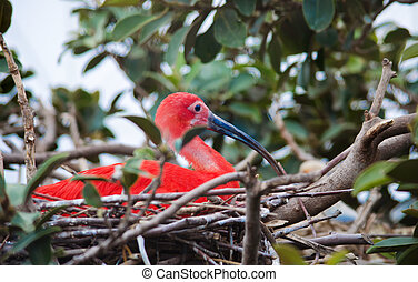 Bright colored scarlet ibis in its nest - Scarlet ibis. Red...