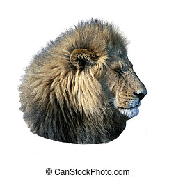 Lion head - Young lion head iolated over white