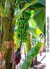 Canarian Banana plantation Platano in La Palma Canary...