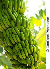 platano,  la,  banana, plantação,  Palma,  canarian