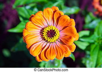 mage beautiful flower bud orange Zinnia gotsveta - a mage...