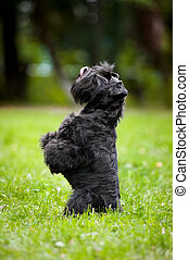 Cute dog sitting on his hind legs - Cute miniature schnauzer...