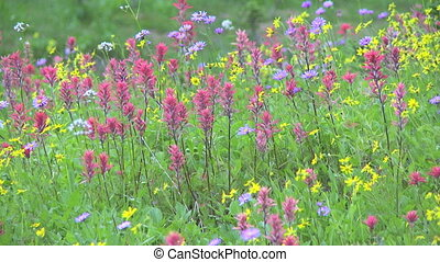 Alpine Wildflowers - Wildflowers in a high alpine meadow in...