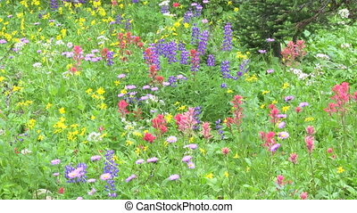 Alpine Wildflowers