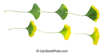 ginkgo leaves - With the seasonal variation of Ginkgo biloba...