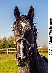 Thoroughbred horse portrait - Portrait of thoroughbred black...