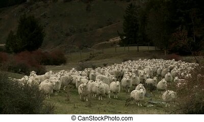 Sheep standing in Paddock - Cadrona - Cadrona, New Zealand...
